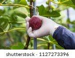harvest harvesting figs | Shutterstock . vector #1127273396