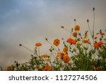 beautiful yellow cosmos flower  ... | Shutterstock . vector #1127274506