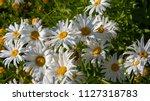 Shasta Daisy Leucanthemum ...