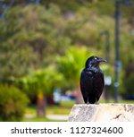 sleek shiny  australian black ... | Shutterstock . vector #1127324600
