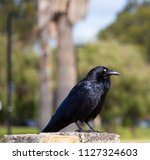 sleek shiny  australian black ... | Shutterstock . vector #1127324603