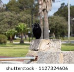 sleek shiny  australian black ... | Shutterstock . vector #1127324606