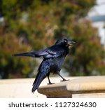 sleek shiny  australian black ... | Shutterstock . vector #1127324630