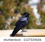 sleek shiny  australian black ... | Shutterstock . vector #1127324636