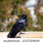 sleek shiny  australian black ... | Shutterstock . vector #1127324639