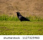 sleek shiny  australian black ... | Shutterstock . vector #1127325983