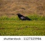 sleek shiny  australian black ... | Shutterstock . vector #1127325986