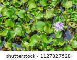 eichhornia crassipes  water... | Shutterstock . vector #1127327528