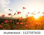 pink cosmos flowers garden in... | Shutterstock . vector #1127357633