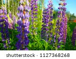 blooming violet and pink lupine ... | Shutterstock . vector #1127368268