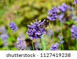 bumblebee collecting nectar of... | Shutterstock . vector #1127419238