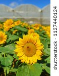 close up sunflower  helianthus  ...   Shutterstock . vector #1127440124