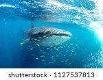 whale shark  rhincodon typus ... | Shutterstock . vector #1127537813