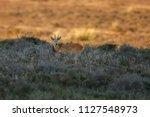 The European Roe Deer ...