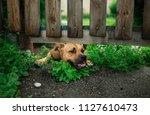 a small wet dog left outside... | Shutterstock . vector #1127610473
