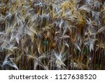 ears of wheat ready to harvest... | Shutterstock . vector #1127638520