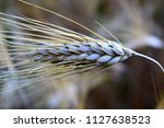 ears of wheat ready to harvest... | Shutterstock . vector #1127638523