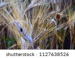 ears of wheat ready to harvest... | Shutterstock . vector #1127638526