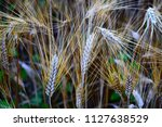 ears of wheat ready to harvest... | Shutterstock . vector #1127638529
