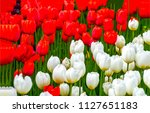 red tulip and white tulip... | Shutterstock . vector #1127651183