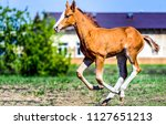 Stock photo horse foal running on horse farm background horse colt running cute horse foal galloping 1127651213