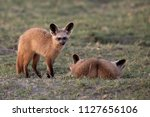 bat eared foxes in the... | Shutterstock . vector #1127656106