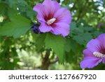 beautiful purple flower in the...   Shutterstock . vector #1127667920