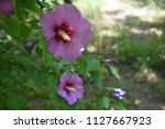 beautiful purple flower in the...   Shutterstock . vector #1127667923