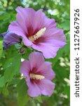 beautiful purple flower in the...   Shutterstock . vector #1127667926
