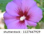 beautiful purple flower in the...   Shutterstock . vector #1127667929