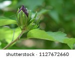 purple flower bud about to...   Shutterstock . vector #1127672660