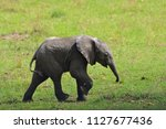 small baby elephant isolated...   Shutterstock . vector #1127677436