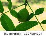 walnut in its green husk...   Shutterstock . vector #1127684129