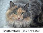 beautiful furry siberian three... | Shutterstock . vector #1127791550