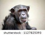 Stock photo adult chimpanzee portrait 1127825393