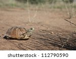 Wild Ornate Box Turtle In...