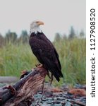 Bald Eagle Perched On Driftwoo...