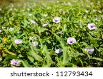 morning glory in the nature - stock photo