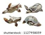 Carettochelys Insculpta....
