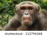 Portrait Of Chimp