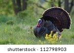 Eastern Wild Turkey Strutting...