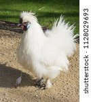the silkie  sometimes spelled... | Shutterstock . vector #1128029693