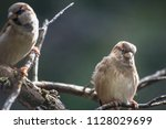 the house sparrow  passer... | Shutterstock . vector #1128029699