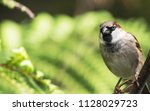 the house sparrow  passer... | Shutterstock . vector #1128029723