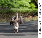 the goose is walking on the... | Shutterstock . vector #1128060479