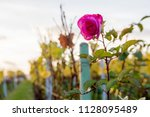 red and pink roses next to... | Shutterstock . vector #1128095489