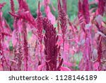 Amaranth Plant With Reds
