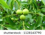 fresh green walnuts growing on...   Shutterstock . vector #1128163790