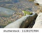 green lake frog basking on a... | Shutterstock . vector #1128191984