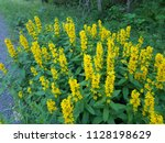 Bright Yellow Loosestrife ...